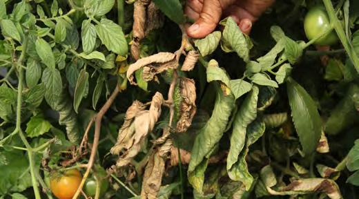 hojas afectadas por pudrición gris