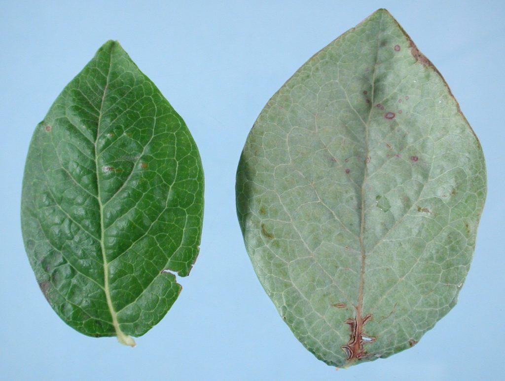 hojas con plateado