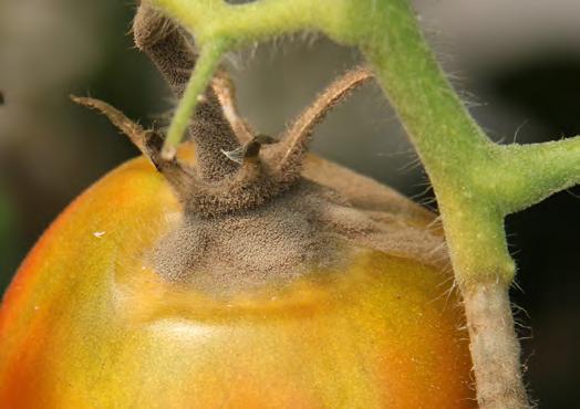 pudrición gris en tallos y frutos