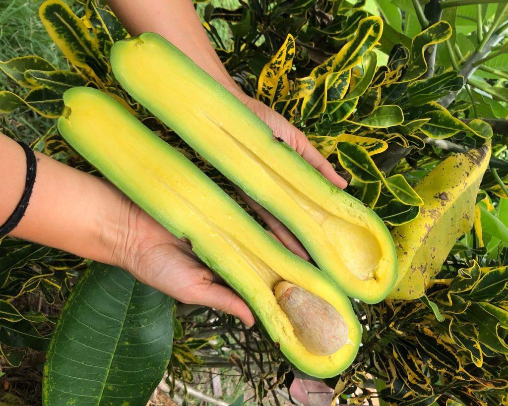 Long Neck Avocado: productores tienen más sorpresas para los consumidores