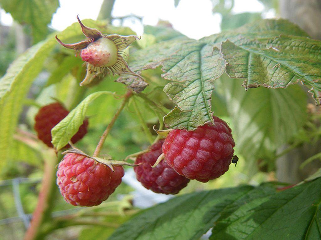 Drosophila Suzukii en berries orgánicos