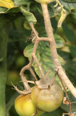 daños en frutos