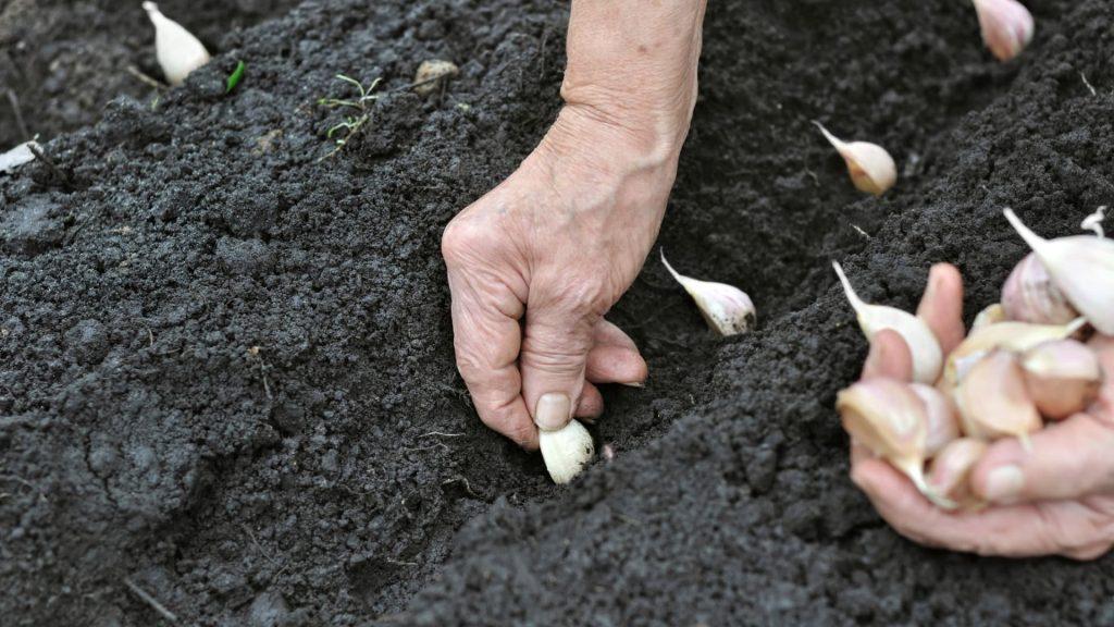 Resultado de imagen para siembra dientes de ajo
