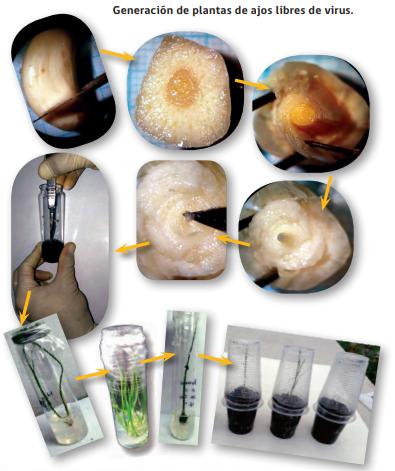 Producción de plantas de ajo libres de virus