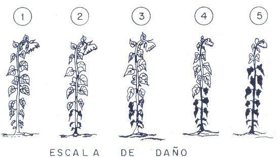 Principales enfermedades del girasol