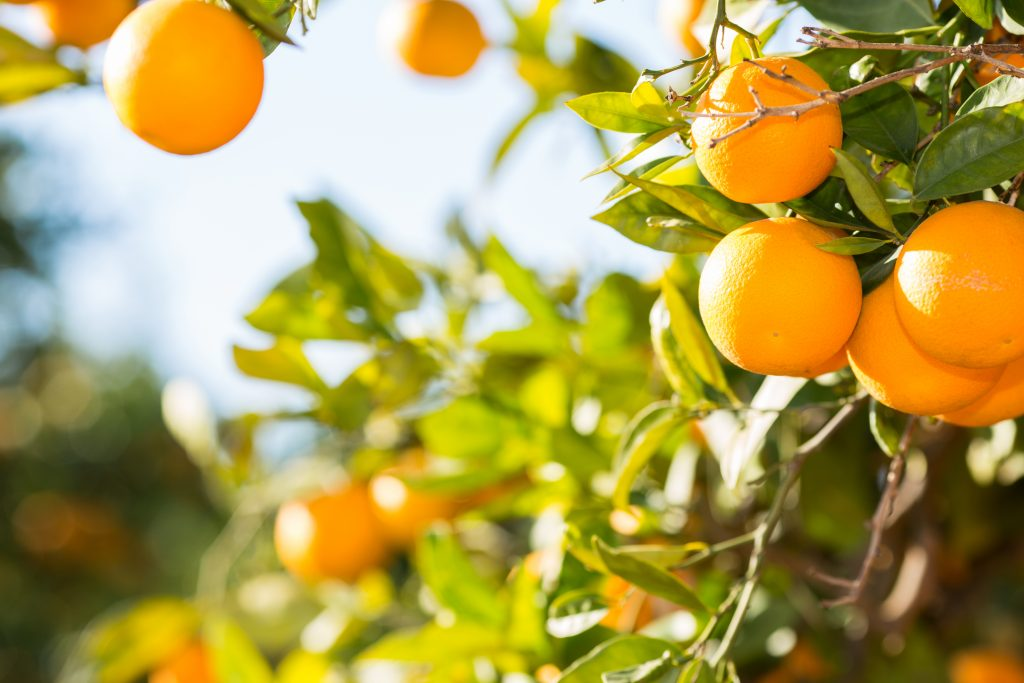 Chile: Comienza temporada de exportación de naranjas