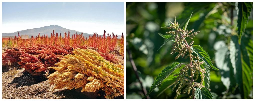 cultivo de la quinoa