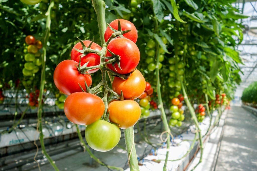 Opciones de sustratos para la producción de tomate
