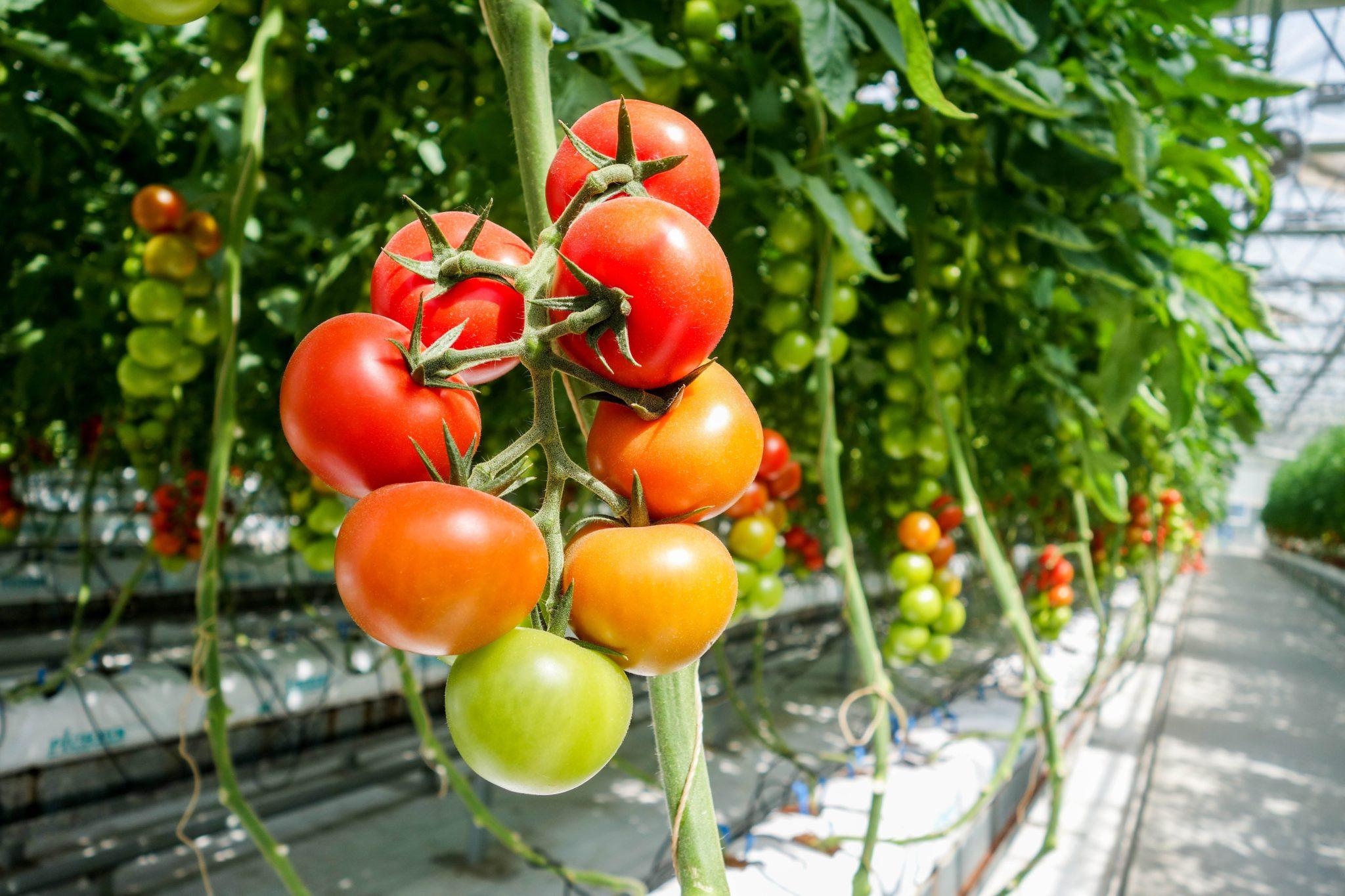Sustratos para la producción de tomate: En sistemas de cultivo en sustrato, los tomates obtienen sus nutrientes a través del sistema de riego.