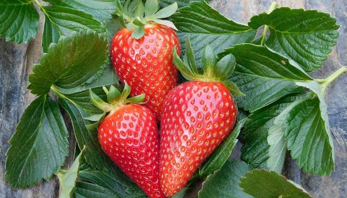 Desarrollan una nueva variedad de fresa de fácil cultivo y alta  productividad -