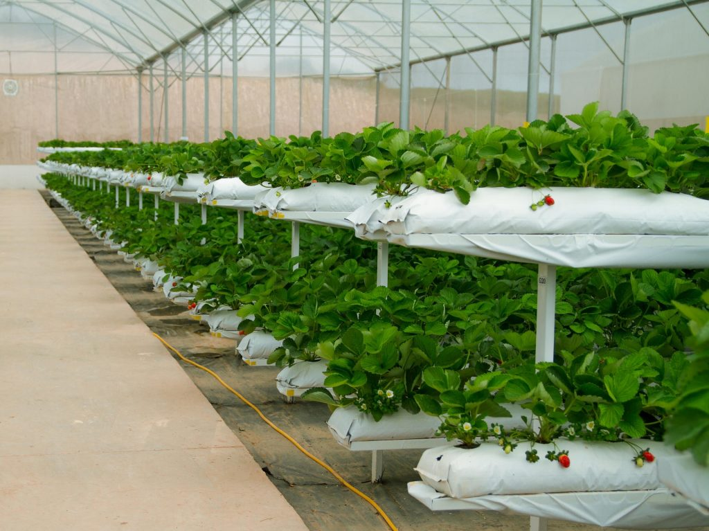 fresas en invernaderos