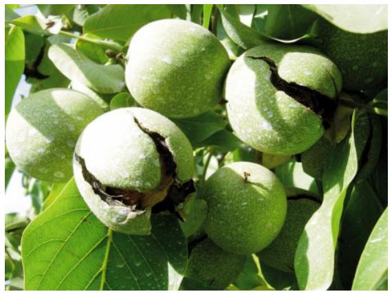 cosecha de nueces
