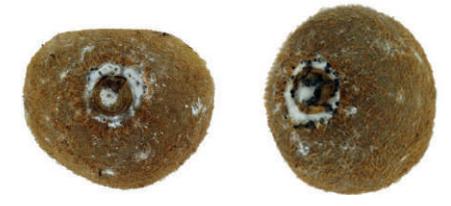 pudrición gris del kiwi