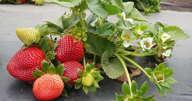 Se expanden las nuevas variedades de frutillas de la Universidad de Florida a Sudamérica y el mundo