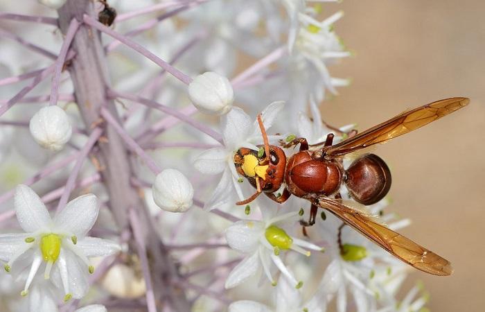 Vespa orientalis: Aseguran que avispa que mata abejas y ataca frutales llegó a Chile