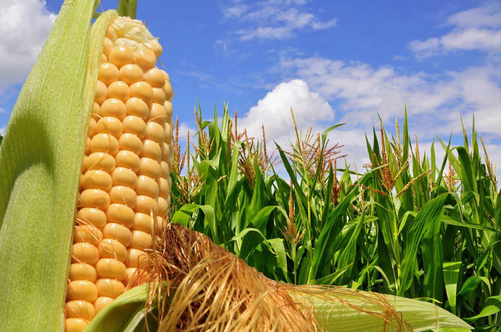 Aumenta aceptación de alimentos genéticamente modificados en Europa