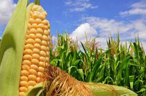 OGM organismo genéticamente modificado