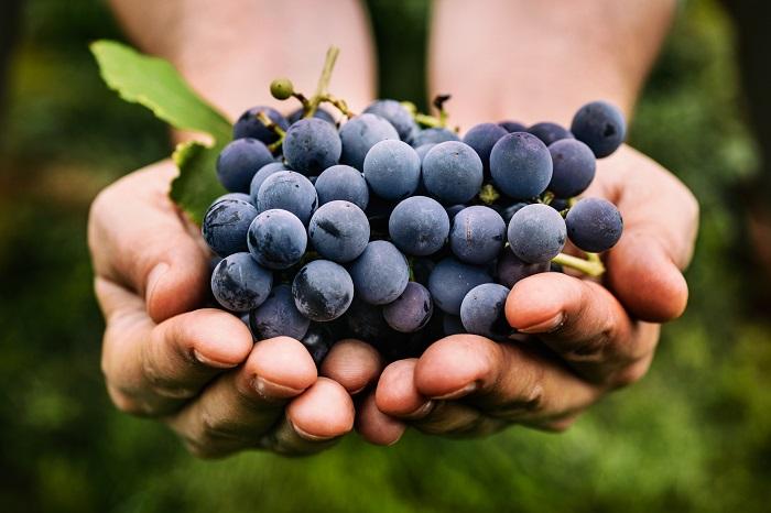 Chile busca fortalecer su liderazgo mundial en fruticultura creando sus propias variedades