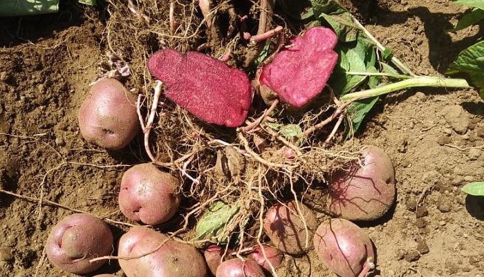 Chile: Producen colorantes naturales para alimentos a partir de la pulpa de las papas moradas y rojas