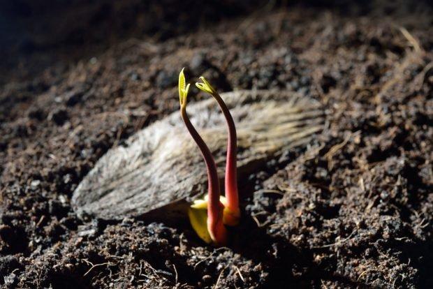Cómo germinar una semilla de mango paso a paso