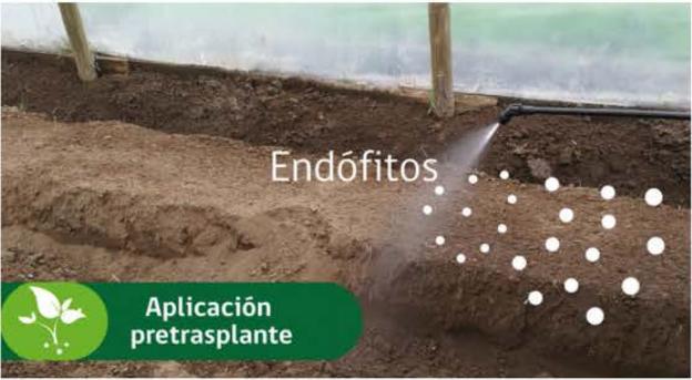 hongos endófitos