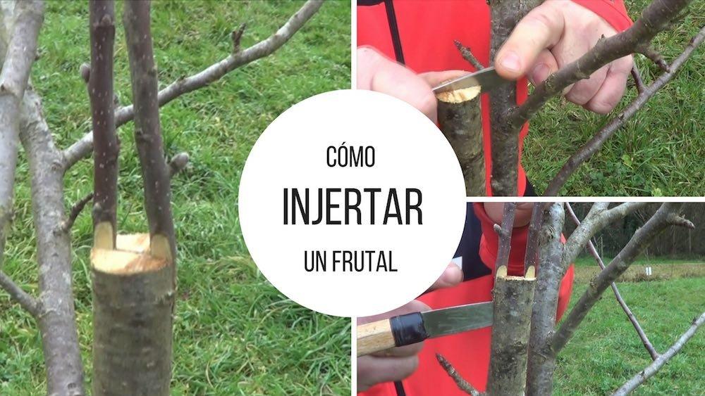Cómo injertar paso a paso un árbol frutal
