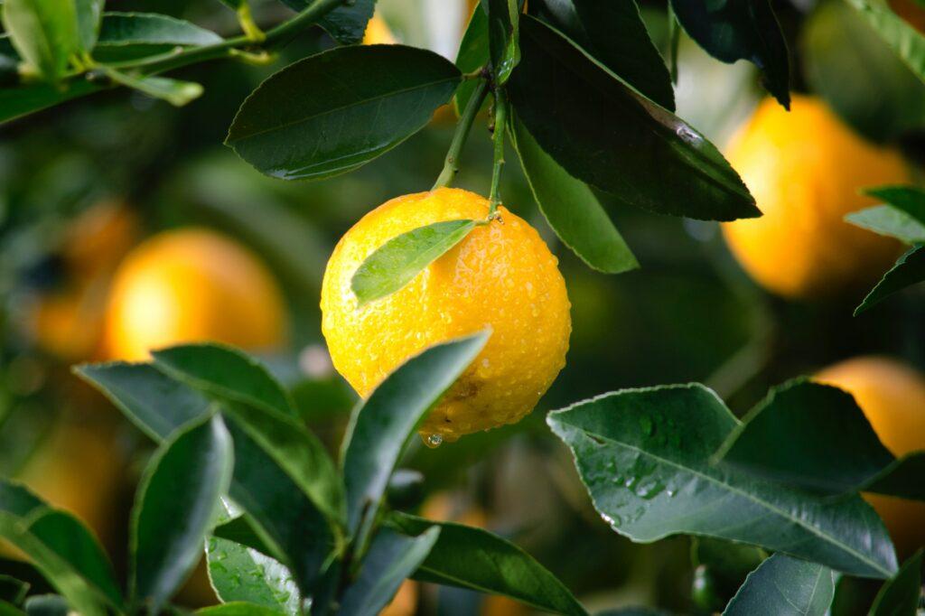 IMG Citrus agrega más de mil hectáreas de Florida Grove a su portafolio