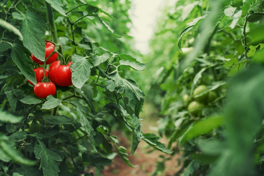 Florida Tomato Exchange acusa a la FPAA de