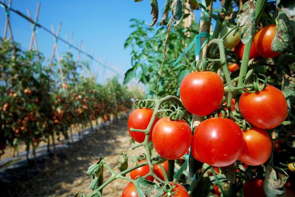 Comisión Europea: producción de tomates en España en 2021 será un 10% menos