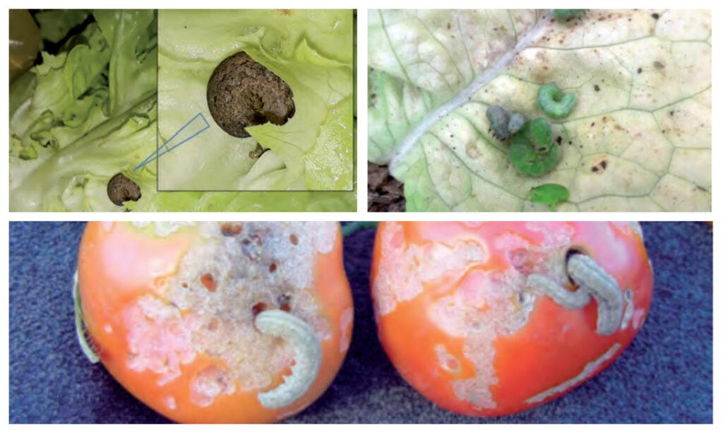 Manejo agroecológico y control de gusanos cortadores de las chacras