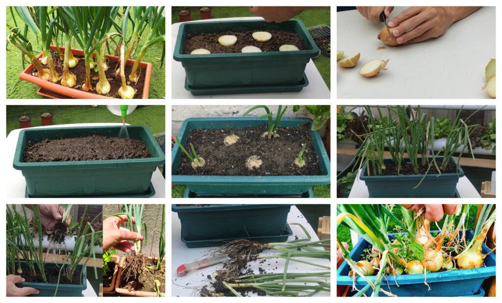 Cómo cultivar tus cebollas sin semilla y en maceta (con video)