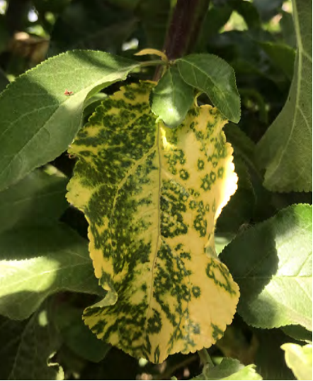 Virus moteado del anillo verde de la cereza