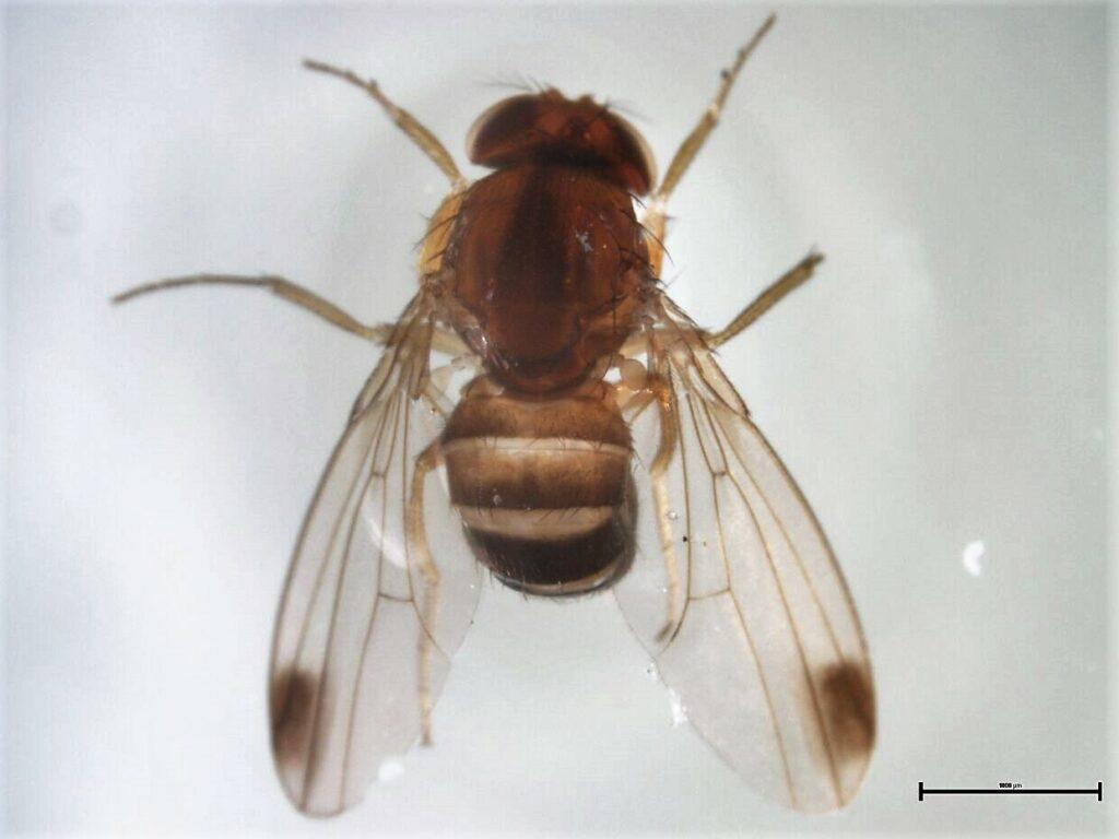 Ministra de Agricultura de Chile resalta labor de servicio del agro en control de Drosophila suzuki