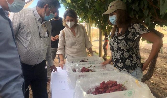 Chile apuesta por nueva variedad de uva moscatel para profundizar penetración de mercados exclusivos