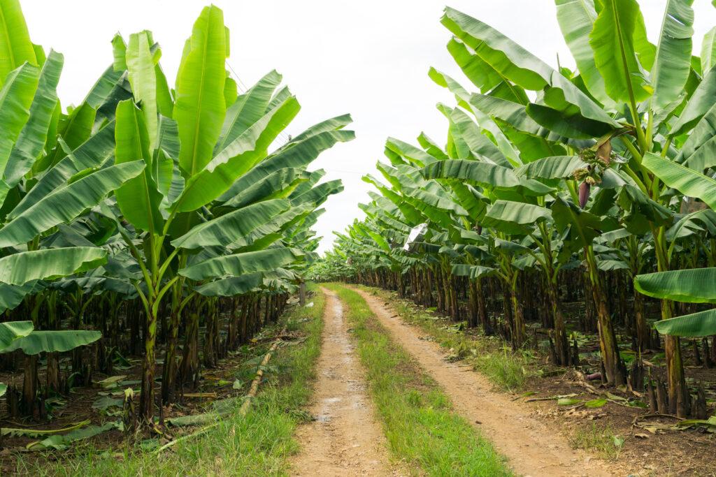 Detectan posible caso de TR4 en campo de banano en Perú