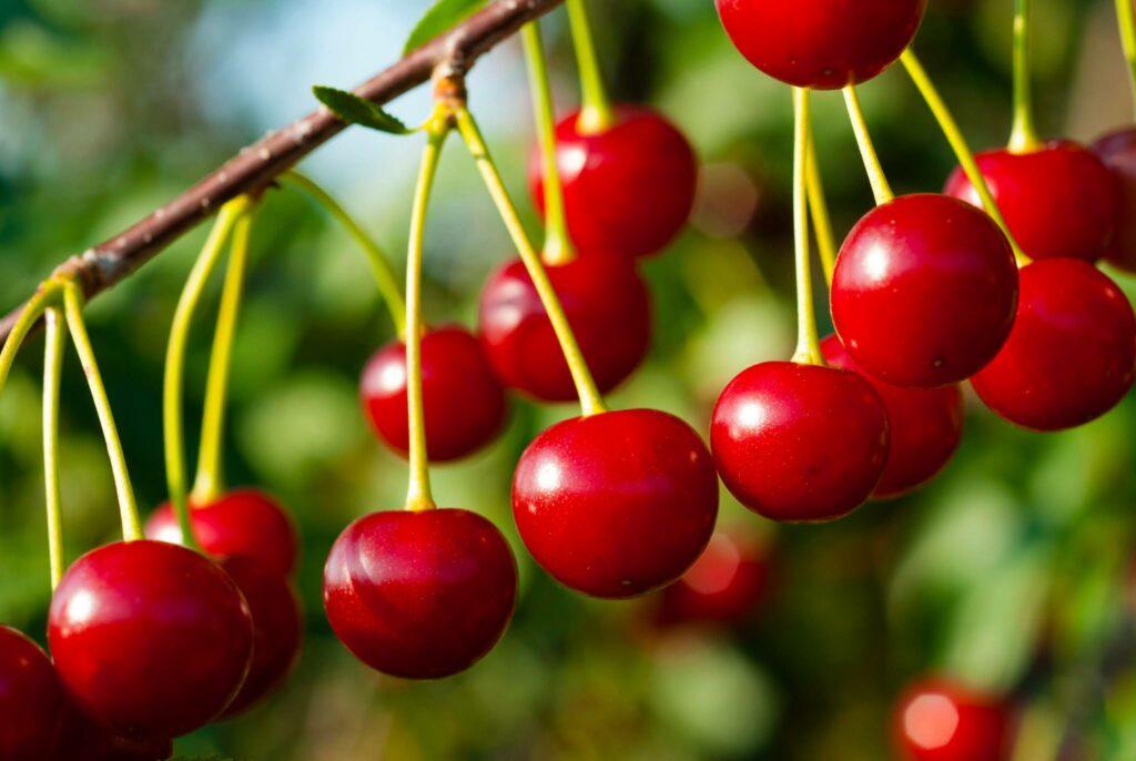 El oeste de Estados Unidos prevé una gran cosecha de cerezas