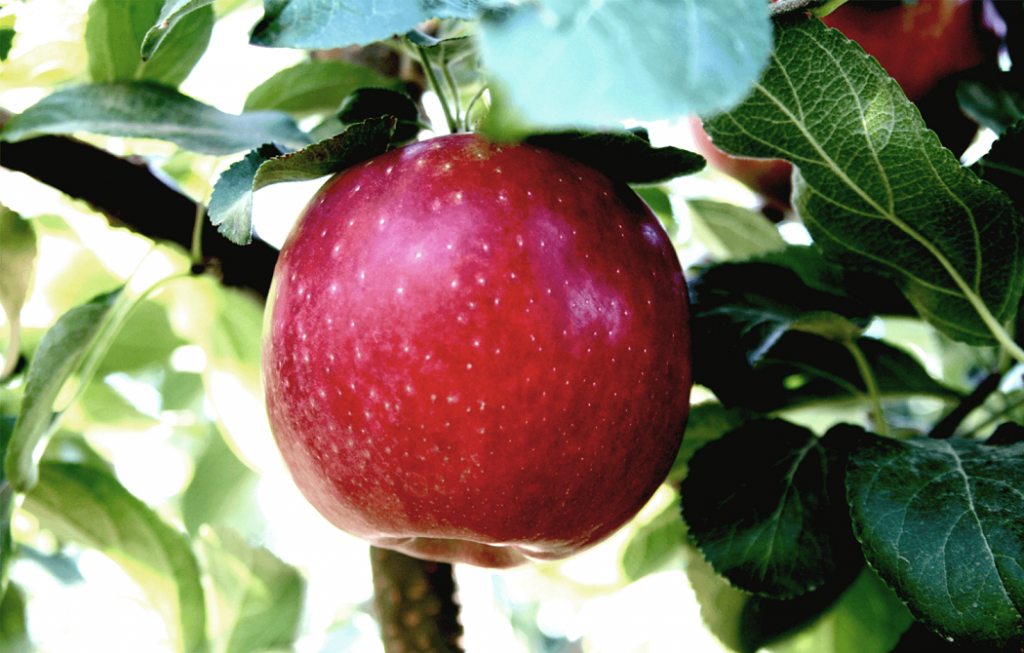 Manzana Cosmic Crisp tiene potencial para convertirse en variedad clave