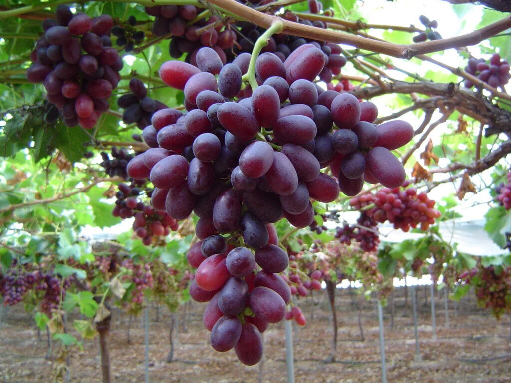 Joaquín Gómez (APOEXPA): Innovación en nuevas variedades de uva de mesa y duraznos