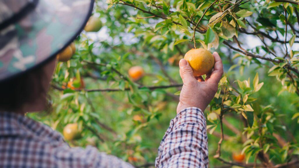 ASOEX y Municipalidad de Lautaro lanzan plataforma que identifica potencial frutícola