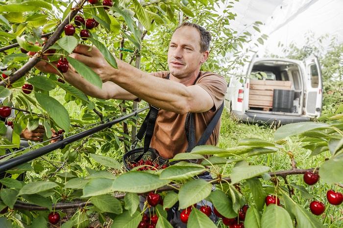 Agricover: Innovación en cobertura de cerezos