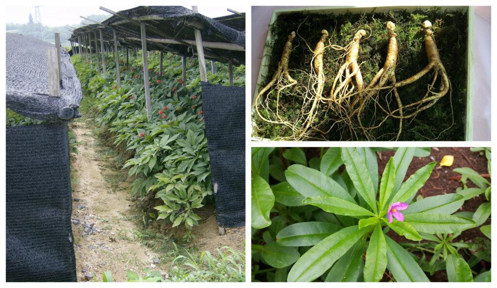 Cómo sembrar, plantar y cultivar ginseng en casa