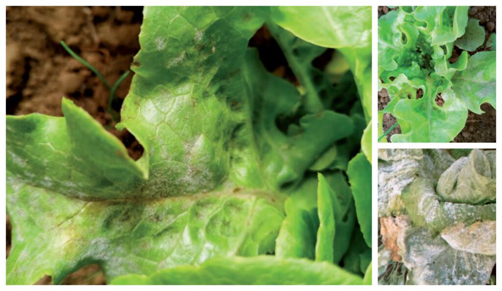Manejo agroecológico y control de Oídio en Lechuga