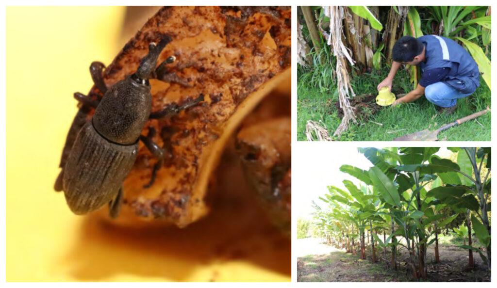 Picudo negro del banano en Rapa Nui: Monitoreo mediante el uso de feromonas