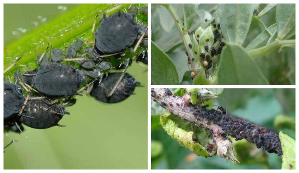Cómo combatir el pulgón negro de las plantas