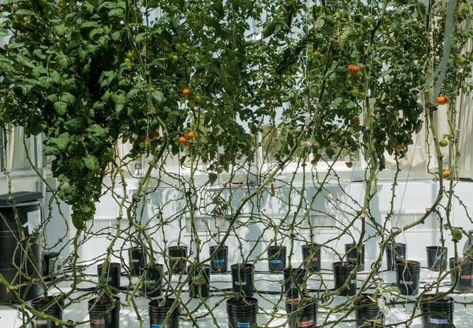 Nuevo método para cultivar alimentos en el desierto usando agua salada
