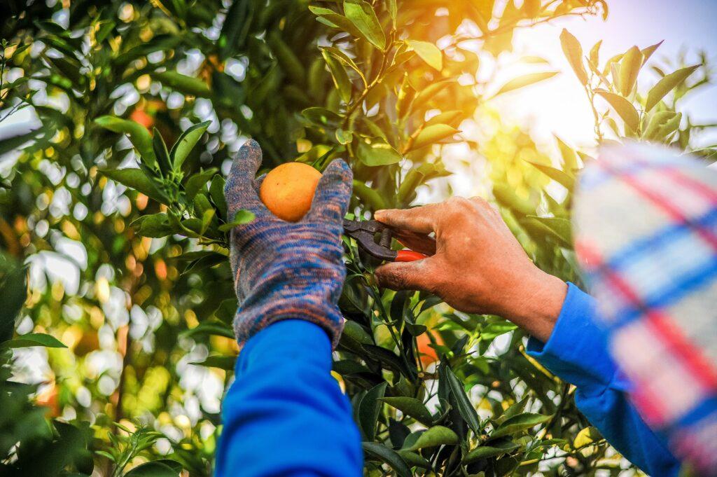 Chile: Gremios frutícolas y compañías potencian planes para enfrentar la escasez de mano de obra