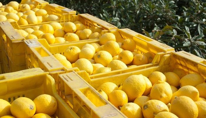 Argentina: Disminuyen estimación de exportación de limón aunque esperan mayores envíos a EE.UU.