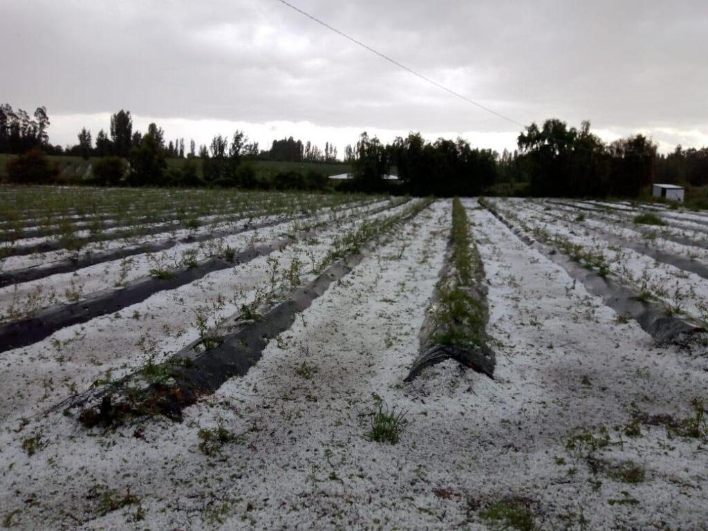 granizo en huertos de arándano