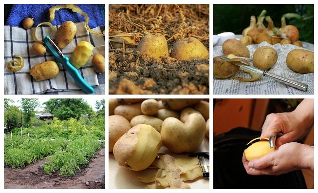 Usos de las cáscaras de patata (papa) en el huerto