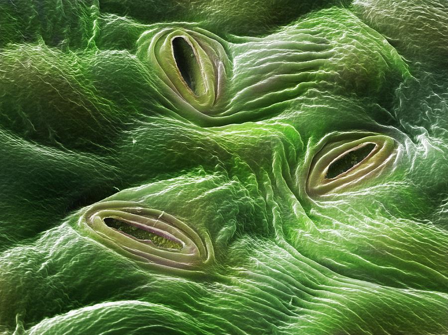 Estudiando la transpiración y los estomas de las plantas